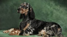 Home page of Gold Rush English Setters, a breeder. We are English Setter breeders. We have puppies and dogs available occasionally. Our dogs are beautiful, healthy and have fabulous temperments. Dog Lover Gifts, Dog Lovers, English Setter Puppies, Red And White Setter, Dog Life, Farm Life, Gold Rush, Hunting Dogs, Dogs Of The World