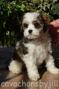 Cavachon puppies for sale by Reputable Dog Breeders. The Cavachon is a cross between a Cavalier King Charles Spaniel and a Bichon Frise. Cavachon Puppies, Teacup Puppies, Maltipoo, Havanese, Yorkie, Puppies For Sale, Cute Puppies, Cute Dogs, Dogs And Puppies