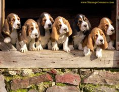 I have ALWAYS wanted a bassett hound, maybe one day soon, I will get one : )