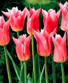 Tulip China Pink - Lily Flowering Tulips - Tulips - Flower Bulb Index