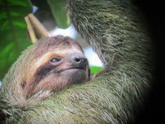 Manuel Antonio hotel | Arenas del Mar Beach Resort, Sloth, Costa Rica wildlife