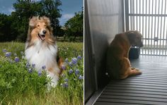 The contrast between Texas A&M mascot Reveille IX's glamour shots and photos from inside the university's dog laboratory will shock you.