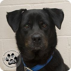 Urgent! I am at a very full, high kill shelter inTroy, OH - Rottweiler Mix. Meet Luke, a dog for adoption. http://www.adoptapet.com/pet/17026074-troy-ohio-rottweiler-mix. Came in with No.