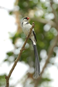 Veuve dominicaine - Vidua macroura