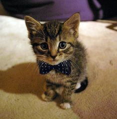 d'awwwww!!!! it's a kitten in a bow tie! You know, I think bow ties are an enhancer. If you're good looking, they make you look even better. If you're cute, they make you look adorable. If you're a dork, they don't help.