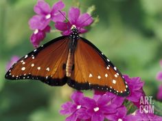 Queen Butterfly on Verbena, Woodland Park Zoo, Seattle, Washington, USA Photographic Print by Darrell Gulin at Art.com