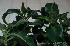 żyworódka daigremontiana Houseplants, Plant Leaves, Style, Swag, Indoor House Plants, Outfits, Potted Plants