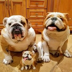 Little English Bulldog Pups Englishbulldog Bulldog Puppy Care