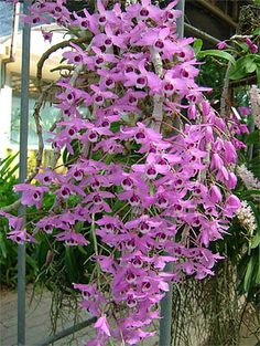 Shade Garden Flowers And Decor Ideas Dendrobium Parishii Orchids Garden, Orchid Plants, Exotic Plants, Exotic Flowers, Amazing Flowers, Beautiful Flowers, Orchid Varieties, Orquideas Cymbidium, Types Of Orchids