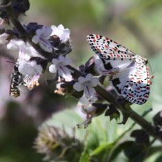 Photos of Crimson Speckled Moth Moth, Butterflies, Photos, Animals, Animales, Pictures, Animaux, Butterfly, Bowties