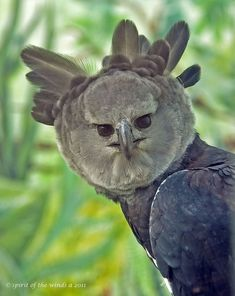harpy eagle (photo by spirit of the winds). A Neotropical species. It is the largest and most powerful raptor in the Americas, and among the largest extant species of eagles in the world