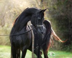 Purebred Black Arabian Stallion #arabianhorses Black Arabian Horse, Beautiful Arabian Horses, Majestic Horse, Black Horses, Wild Horses, Cute Horses, Horse Love, Campolina, Photo Animaliere