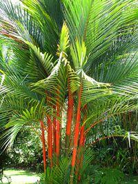 Online Garden Plants Australia: Lipstick Palm / Red Sealing Wax Palm (Cyrtostachys renda) - New Site Palm Trees Landscaping, Florida Landscaping, Florida Gardening, Tropical Landscaping, Backyard Landscaping, Landscaping Design, Tropical Garden Design, Tropical Backyard, Tropical Plants