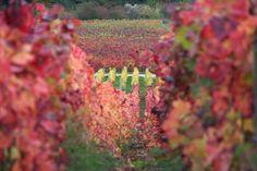 Couleurs automnales - Photographies Patrick Jassiones Champagne, Nature, Vineyard, Autumn, Outdoor, Vine Yard, Photographs, Landscapes, Colors