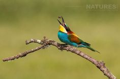 A bee eater captured tossing a bee before swallowing it photographed on the Natureslens Birds of Calera Photography Holiday