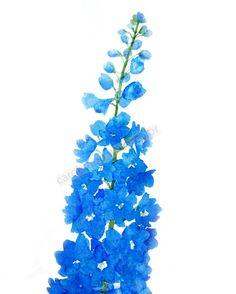 blue delphinium painting archival print 8 x 10 by carolsapp, $18.00