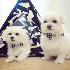 It's a new week! Let's rock it! Teepee info ▶️ http://www.unitedpups.com #maltese #puppylove #doglover #whitedog #dogoftheday #poodle #petlove #shihtzu #puppystagrams #doghouse #mydogiscutest #teepee #tent #petteepee #cuteteepee #frenchie #pomeranian #yorkie #chihuahua #dogbed #unitedpups #maltipom #morkie #pug #style #teepeelife #dachshund #weeklyfluff