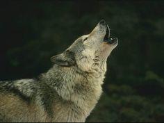 Lobo Animales Lobos Wallpapers gratis - Lobo