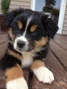 Black & White Aussie Puppy