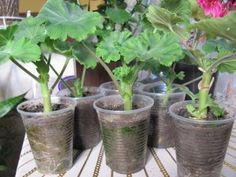 The checked way of rooting high-quality pellargony \/ geraniums. Plants, Growing Plants, Propagating Plants, Geraniums, Indoor Water Garden, Side Garden, Orchids, Flowers, Farm Gardens