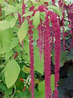 Amaranthus caudatus or Love Lies Bleeding (2-4 feet)