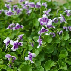 Australian Violet - we love 'em! As of 1/4/14 we have them in stock at Johnnye Merles! www.purtyplants.com