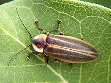 Firefly - Photuris lucicrescens - They're here for the summer!  Did you know that all fireflies glow as larvae?