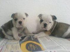 Bulldog Ingles lindos filhotes