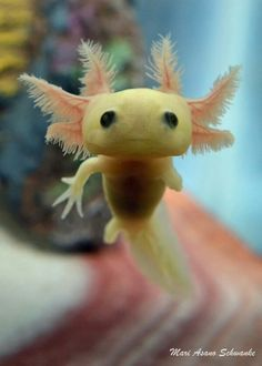 Axolotl The axolotl, also known as a Mexican salamander or a Mexican walking fish, is a neotenic salamander, closely related to the tiger salamander.