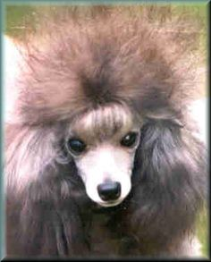 I just fall in love with her eyes and pretty little face every time I look at this pic. Toy Poodles, Mini Poodles, Standard Poodles, Dog Haircuts, Dog Hairstyles, I Love Dogs, Cute Dogs, Poodle Hair, Black Puppy