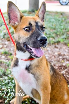 Meeka is an adoptable Shepherd searching for a forever family near Plano, TX. Use Petfinder to find adoptable pets in your area.