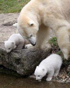 Twin polar bear cubs and mom