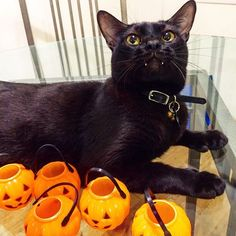 FinMEOWally, it's PAWlloween! But I'm CATfused. Why do they give me candy baskets when all I want is to drink buckets of blood to celePURRate my big day? 😿  _______________  #vampirecat #blackcat #blackcatsofinstagram #cat #cats #catstagram #catsofinstagram #kitten #kitty #neko #instacat #purr #petstagram #iphoneonly #kittens #picoftheday #고양이 #ねこ #catoftheday #igers #meow #gato #cats_of_instagram #猫 #catlady #catlover #instagramhub #instagood #webstagram #halloween