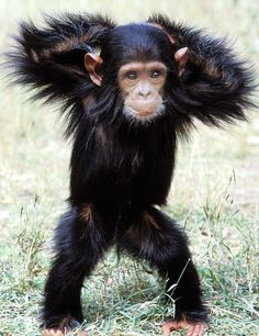 Baby Chimp... Where can I get one?