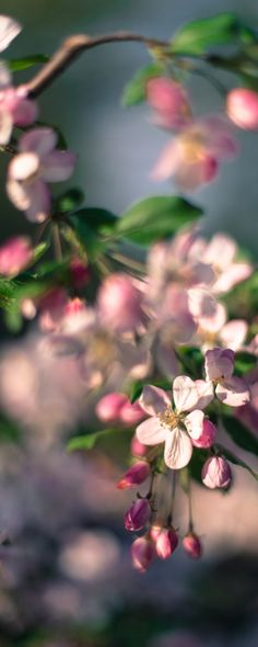 Apple Blossom/Appelbloesem.