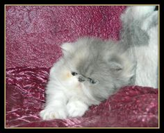 """Our """"Sweetharmony's Dirty Dynamite"""", born 26/08/2015, PER Dilute Calico (direct Chocolate carrier) The proud parents are: Sire: Chatil de Rex's Nesquik of Sweetharmony and Dam: CH. Lovely Moon La Vive of Sweetharmony"""