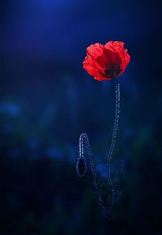 Photography Red Poppies 54 Trendy Ideas Plants Photography Red Poppies 54 Trendy IdeasBig Ideas Big Ideas may refer to: Wild Flowers, Beautiful Flowers, Poppy Flowers, Dark Winter, Red Poppies, Belle Photo, Flower Power, Red And Blue, Navy Blue