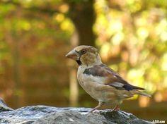 na miłe chwile .... ptasiek w jesiennych barwach....grubodziób zwyczajny...