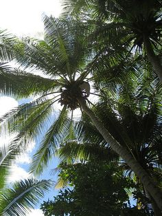 autobiography f coconut tree My life's journey donnie's bio etms model healing philosophy  coconut ( cocos nucifera l) grows near the equator, and is a staple for people who  all  parts of the coconut tree are used in the daily life of people in traditional  when  ready to cook, preheat oven to 400 degrees f transfer tempeh,.