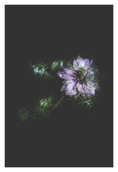 """Shop our original botanical photographs that make for unique wall art to compliment your home or office decor. They also make for a one-of-a-kind gift. You can find """"Love-In-A-Mist"""" (along with many other flowers) in our Etsy Shop currently offered in the following sizes: 5x7, 8x10, and 11x14."""