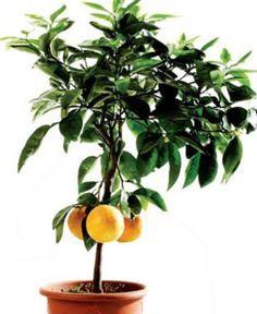 Лимон в домашних условиях: от посадки до сбора урожая — Сад на подоконнике
