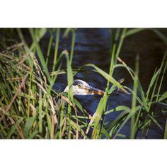 "33 Me gusta, 1 comentarios - SiMo85 (@simoneace85) en Instagram: ""#ilgermogliodelticino#airone#ticino#river#park#igersvarese#igersticino#ig_varese#ig_milano#parcodelticino#parcoticino#canon_photos#canon#canon_official#nice#like4simo#photooftheday#picoftheday#instanature#instagood#nature#heron#bird"""