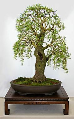 Willow Bonsai ... Ultimate test of patience ... This one is probably approaching 80+ years old ...