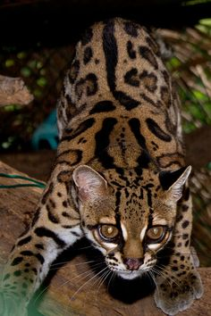 Margay Facts, Pictures, Video & In-Depth Information For Kids & Adults Wild Cat Breeds, Rare Cat Breeds, Rare Cats, Small Wild Cats, Big Cats, Cats And Kittens, Beautiful Cats, Animals Beautiful, Cute Animals