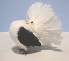 best cool Fantail Pigeon, Pigeon Breeds, Bird Feathers, Beautiful Birds, Funny Images, Pet Birds, Animals And Pets, Fancy, Pigeon