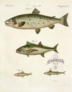 Bertuch Fish Prints, Botanical Prints 1790
