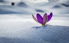 Life...again. - Crocus pushes through snow in the mountains of central Italy #spring