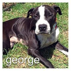 Dallas, TX - American Pit Bull Terrier Mix. Meet George, a dog for adoption…