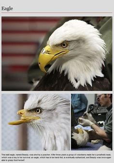 Animal Prosthetics bald eagle's beak