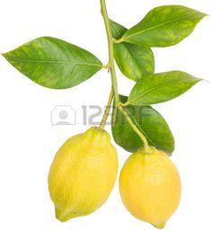lemon tree leaves: Branch of lemons with leaves isolated on white background Lemon Watercolor, Paper Plants, White Background Photo, Tree Leaves, Games For Girls, Berries, Lime, Stock Photos, Lemon Leaves